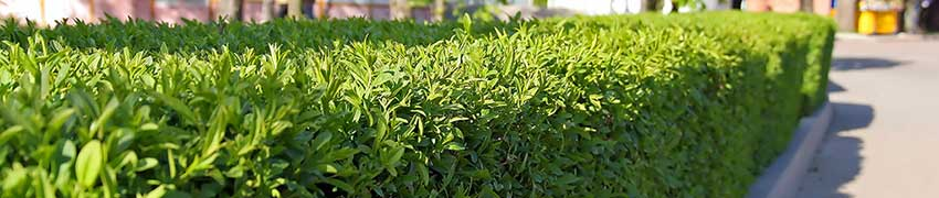 Laurier : plante de haie