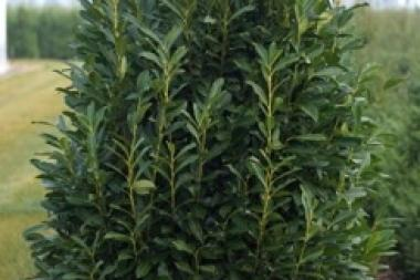 Laurier palme 'Elly'®