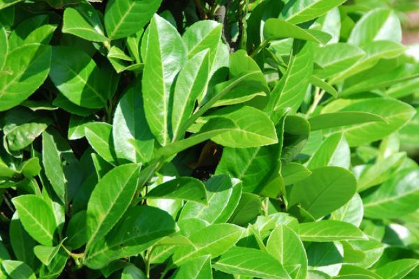 Laurier cerise 'Rotundifolia'
