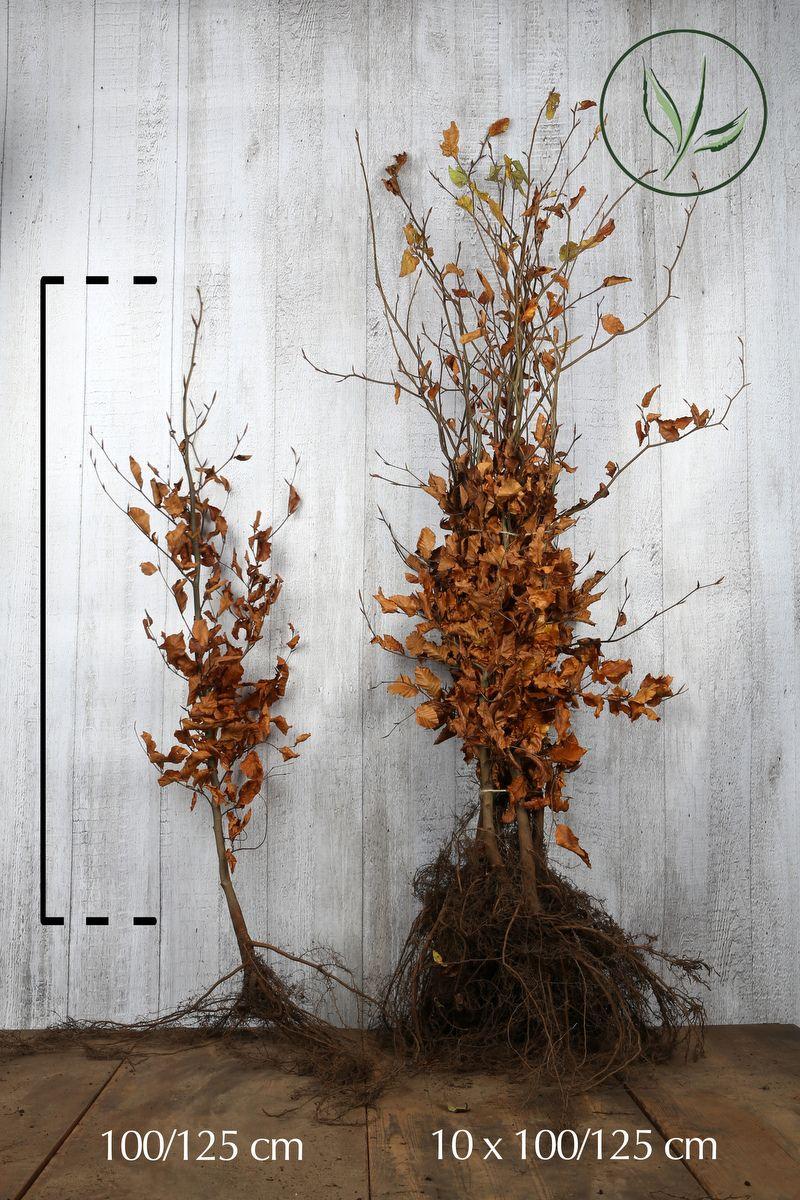 Hêtre commun, Hêtre vert  Racines nues 100-125 cm