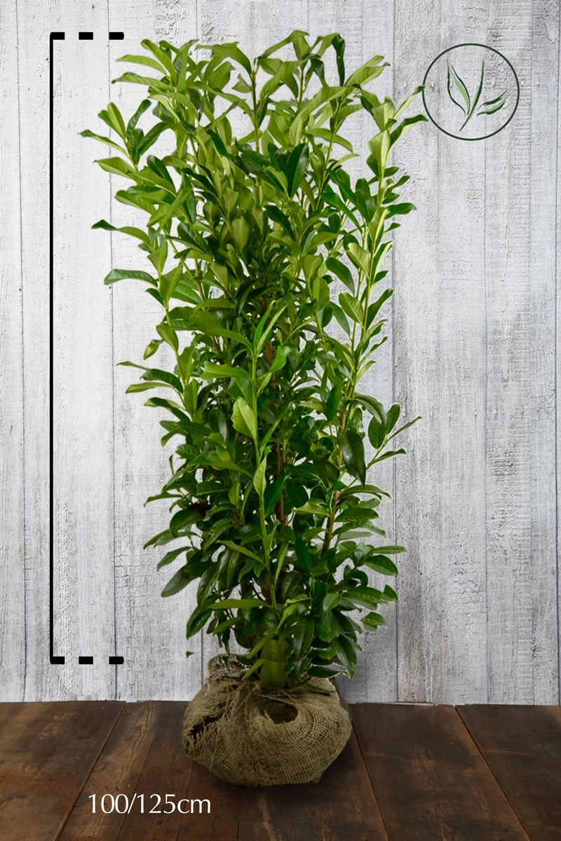 Laurier cerise 'Genolia'® En motte 100-125 cm Qualité extra