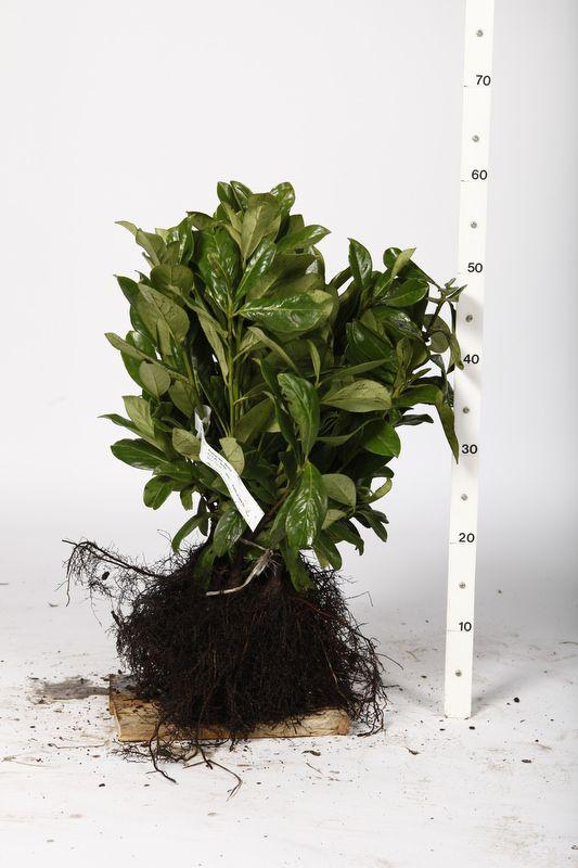 Laurier palme 'Etna'  Racines nues 25-30 cm