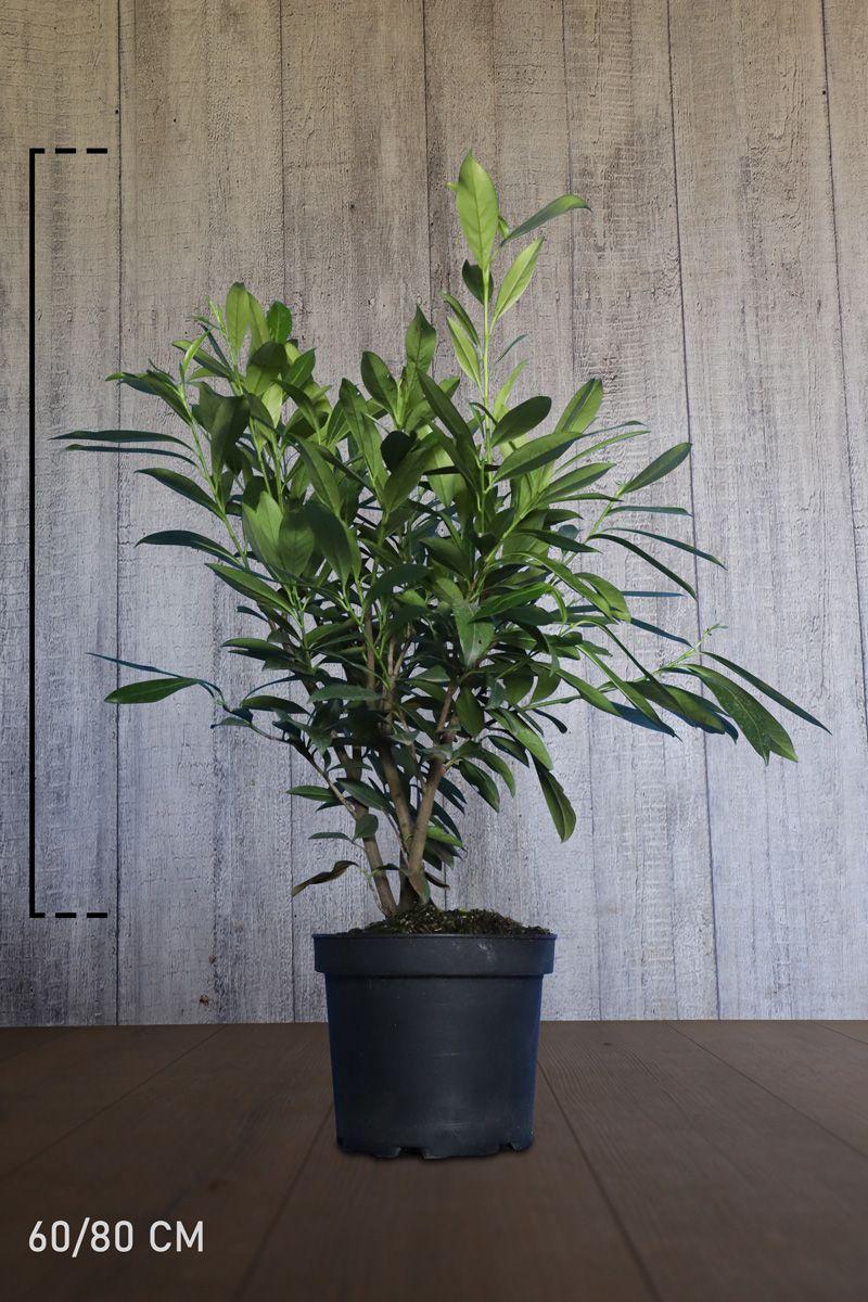 Laurier palme 'Caucasica' Conteneur 60-80 cm
