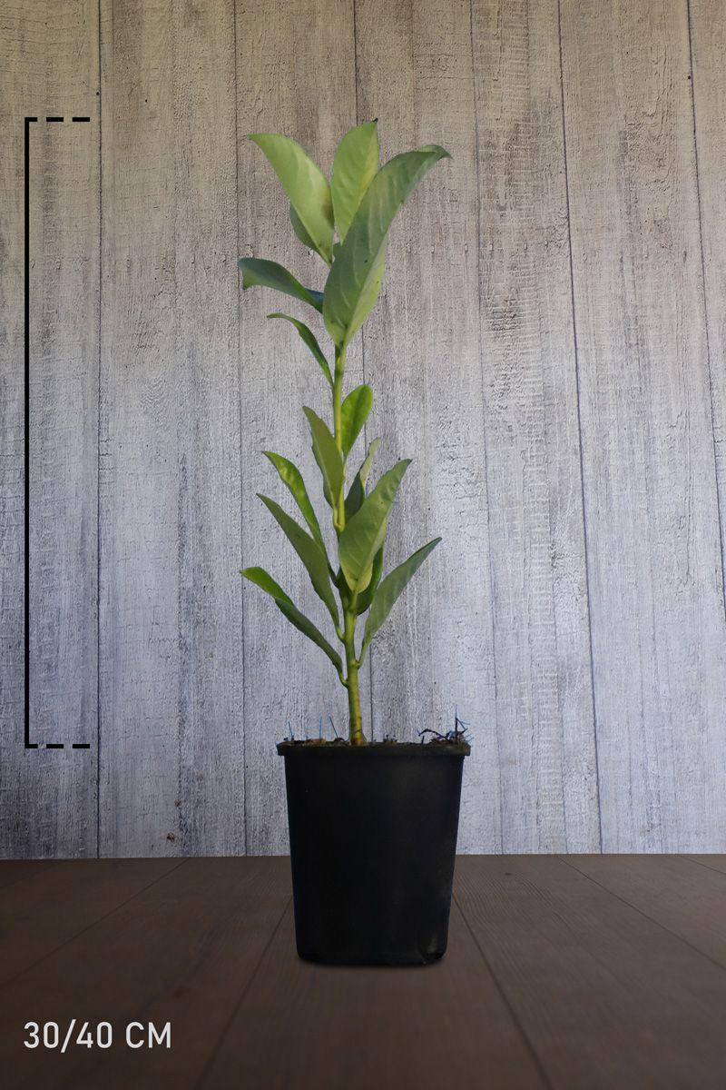 Laurier cerise 'Rotundifolia' Conteneur 30-40 cm