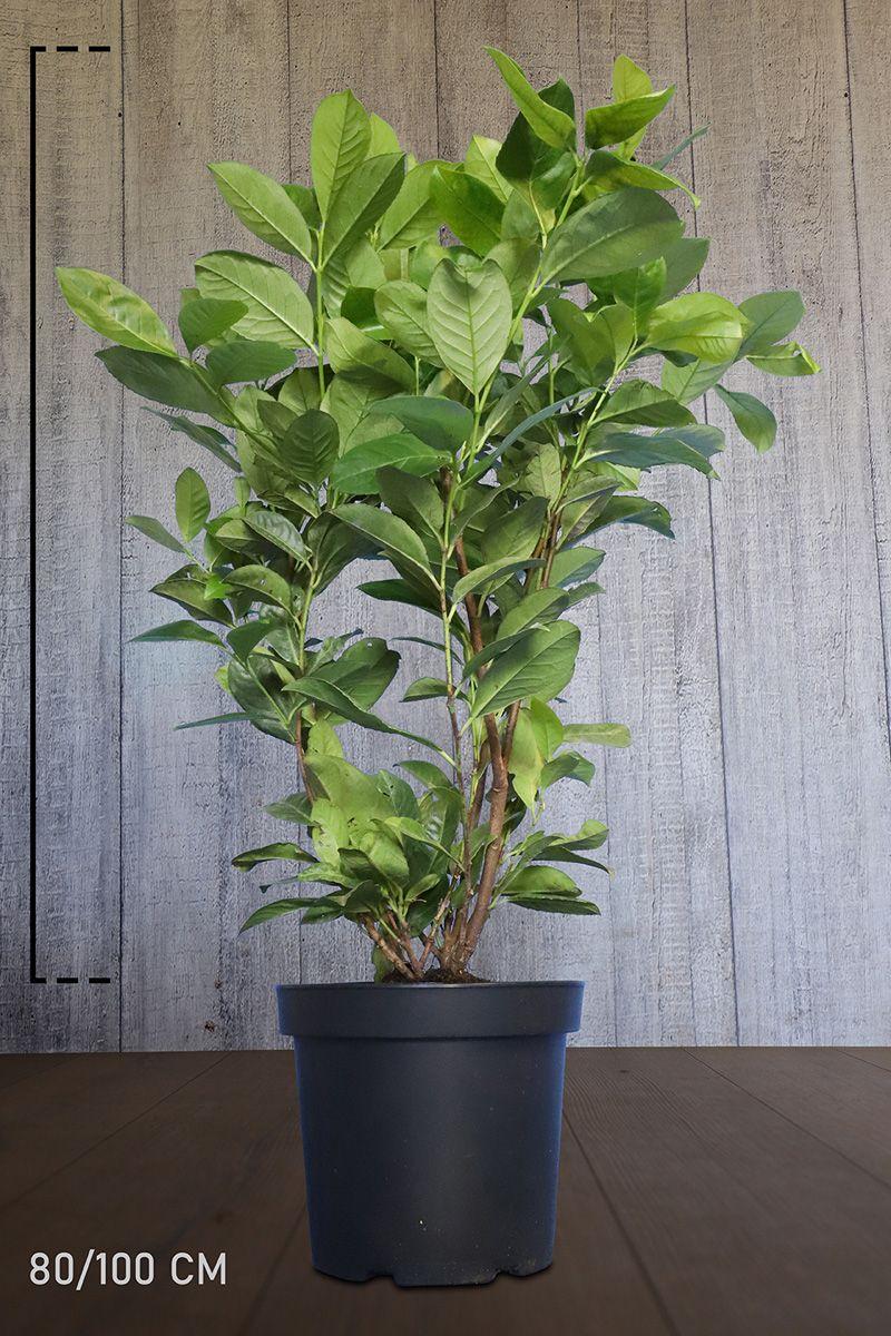 Laurier cerise 'Rotundifolia' Conteneur 80-100 cm