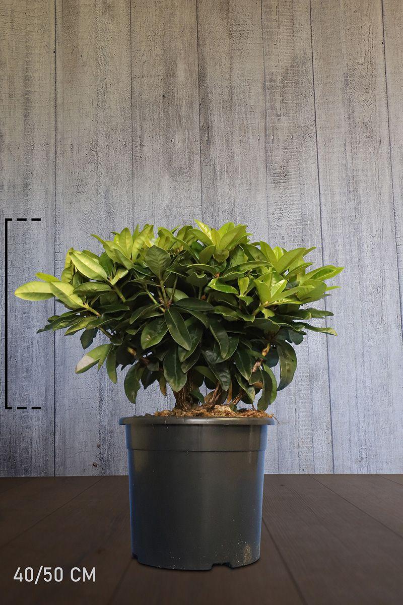 Rhododendron 'Gomer Waterer'  Conteneur 40-50 cm Qualité extra
