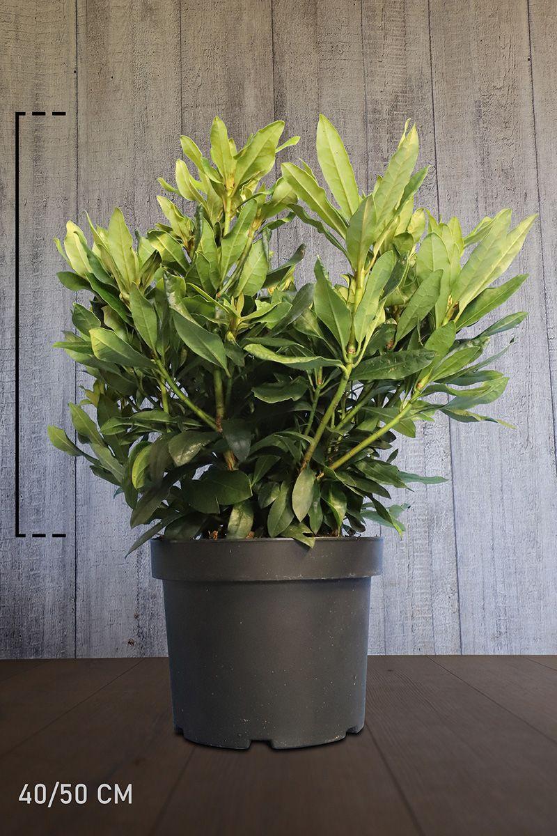 Rhododendron 'Madame Masson' Conteneur 40-50 cm Qualité extra