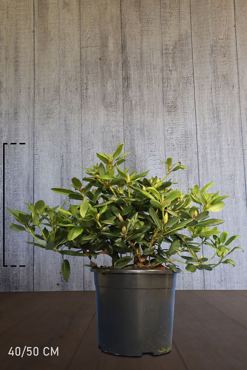Rhododendron 'Virginia Richards' Conteneur 40-50 cm Qualité extra