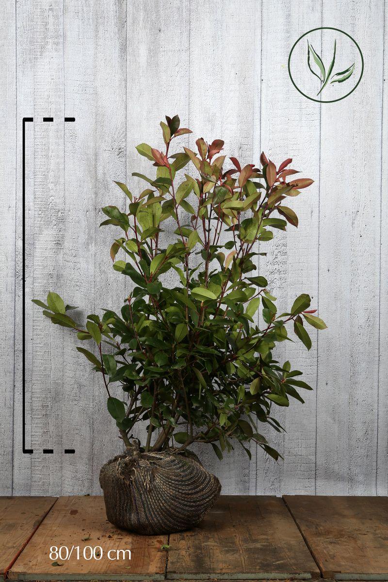 Photinia 'Red Robin'  En motte 80-100 cm