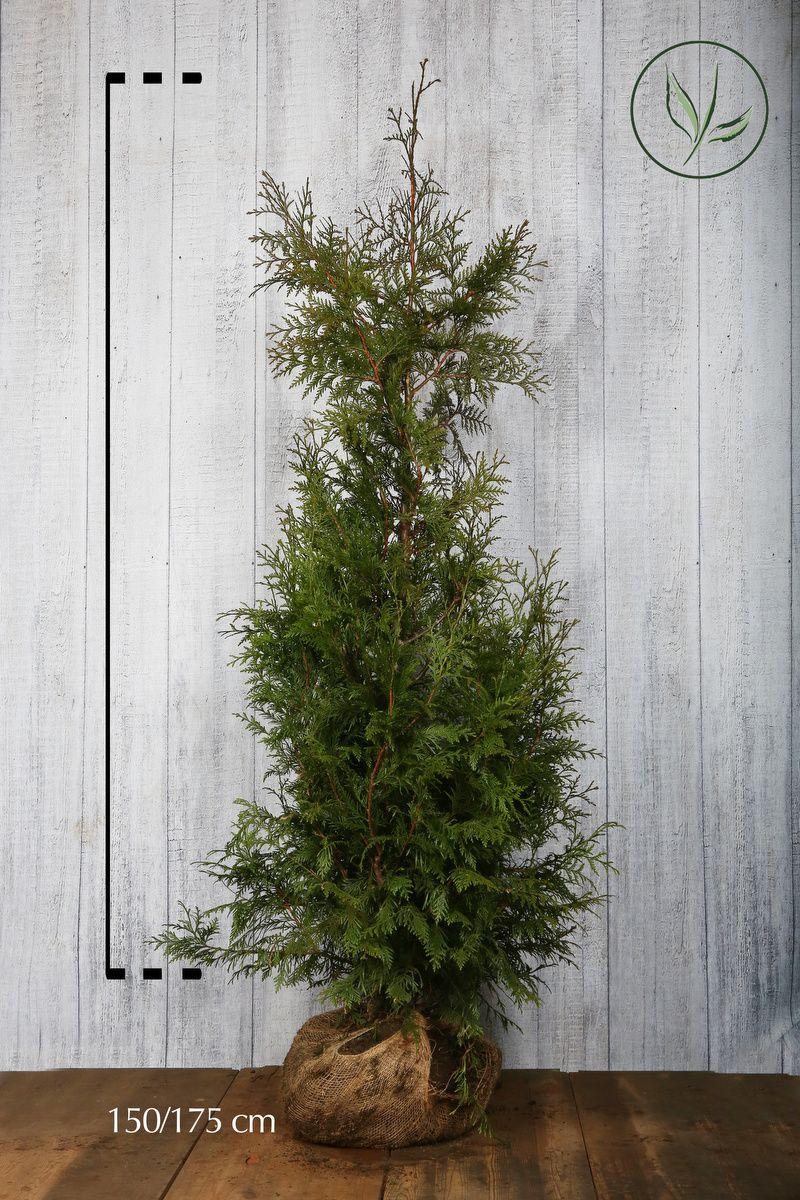 Thuya géant 'Excelsa' En motte 150-175 cm