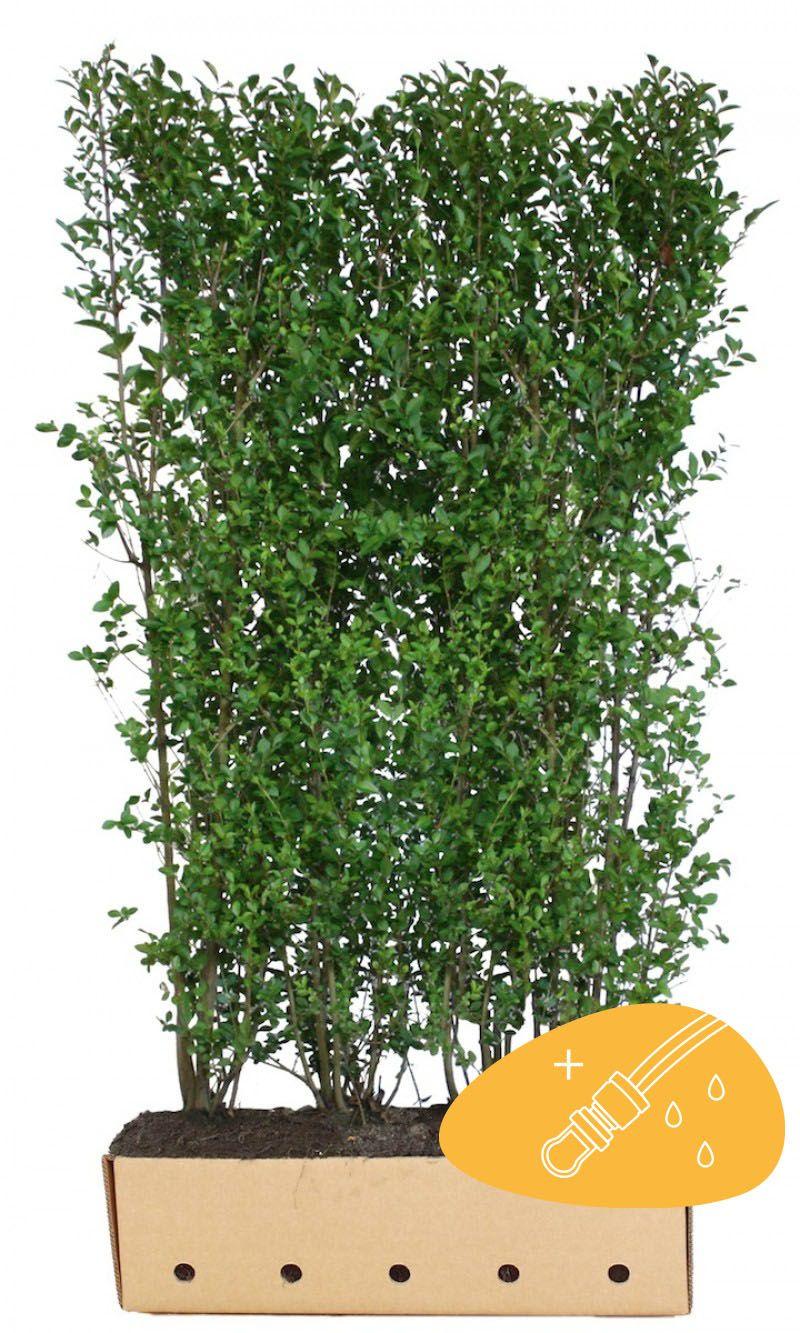 Troène vert, Troène de Californie  Haies prêtes à planter 200 cm Prêts à planter