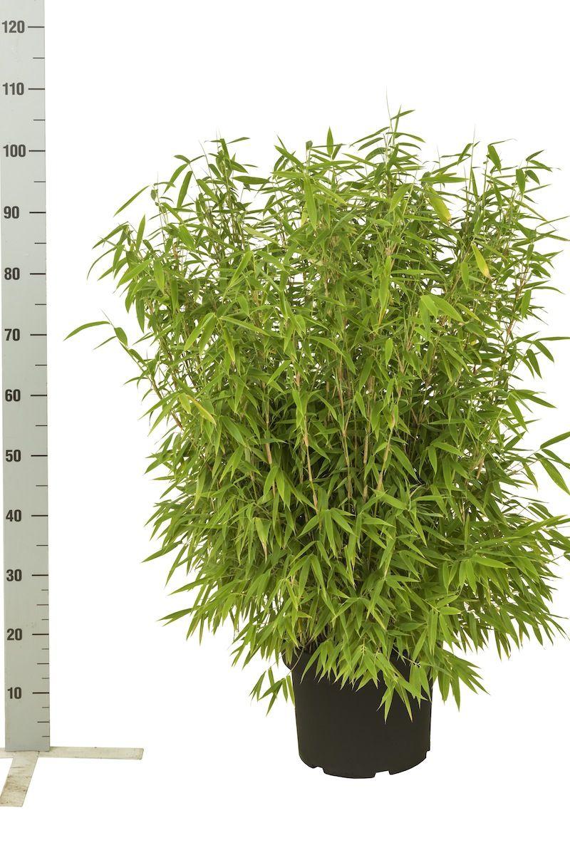 Fargesia murielae 'Simba' Conteneur 60-80 cm