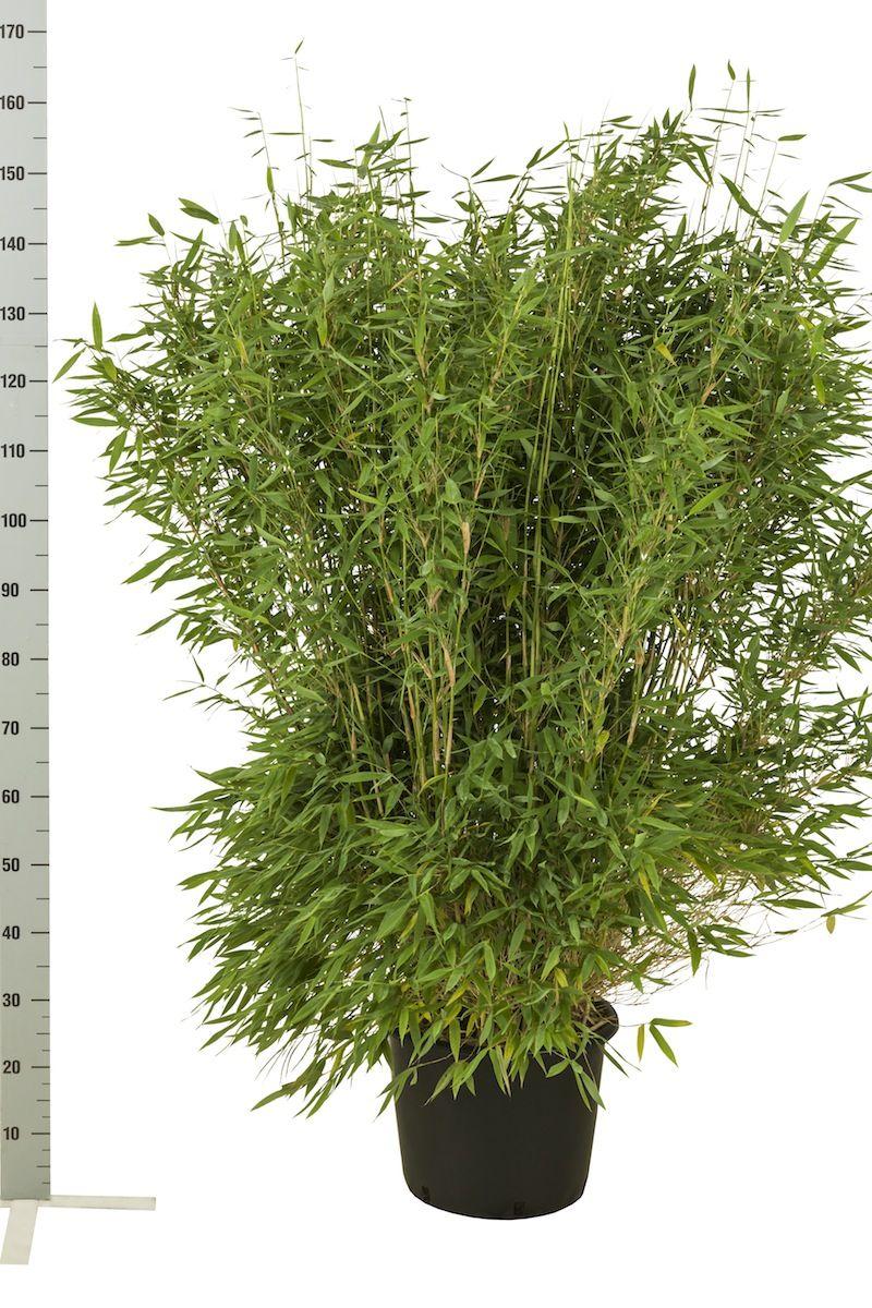 Fargesia murielae 'Jumbo' Conteneur 125-150 cm