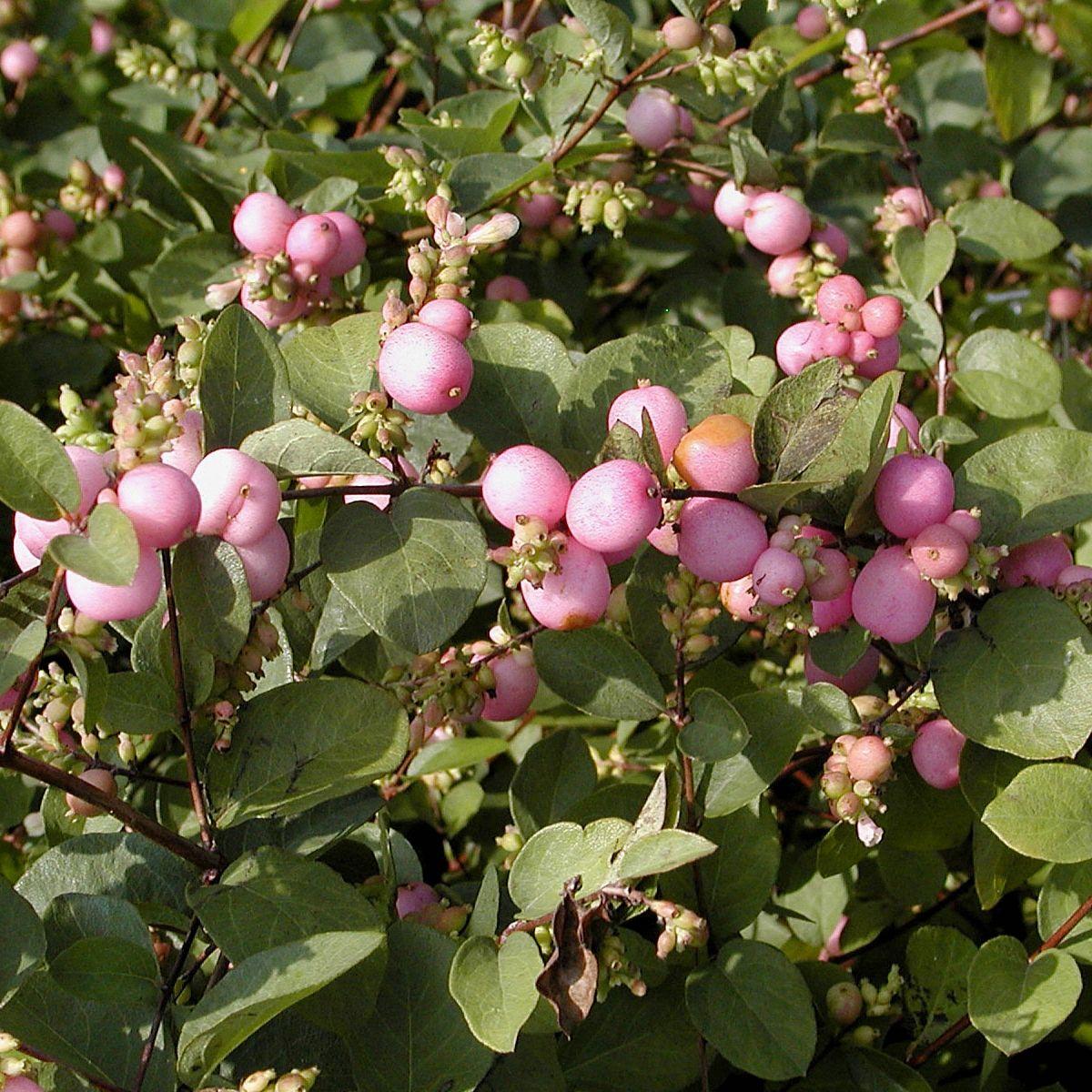 Symphorine de Doorenbos 'Magic Berry'