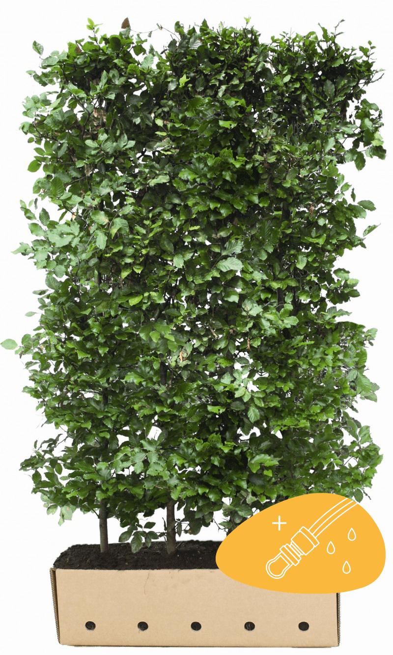 Hêtre commun, Hêtre vert  Haies prêtes à planter 200 cm Prêts à planter