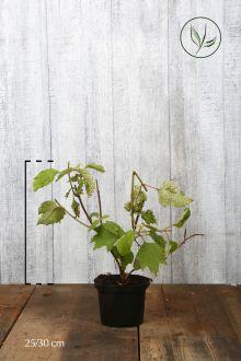 Hortensia à feuilles de chêne  Conteneur 25-30 cm