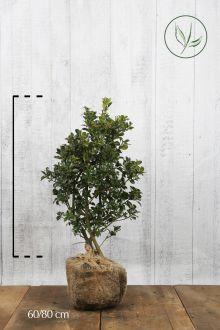 Houx 'Heckenfee'  En motte 60-80 cm