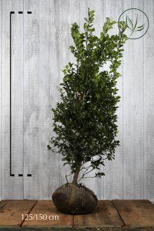 Houx 'Heckenfee'  En motte 125-150 cm