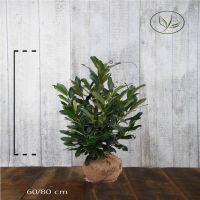 Laurier palme 'Elly'® En motte 60-80 cm
