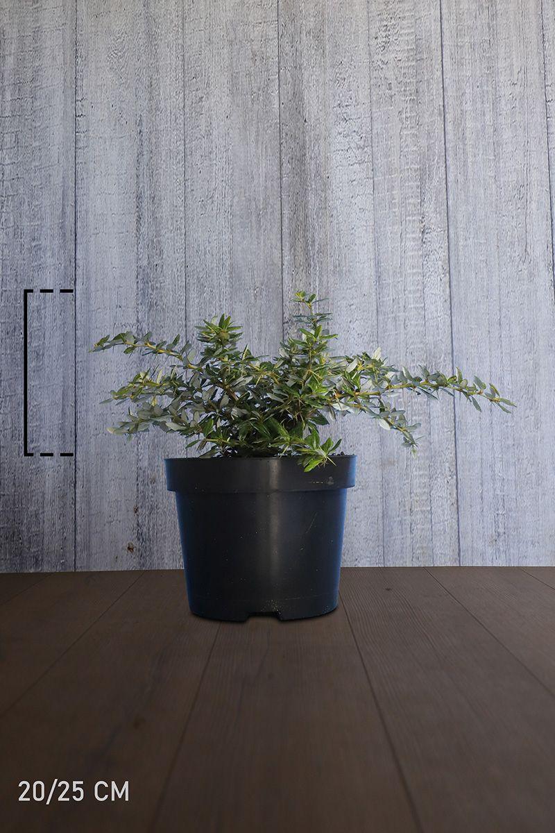 Épine-vinette verruqueuse Conteneur 20-25 cm