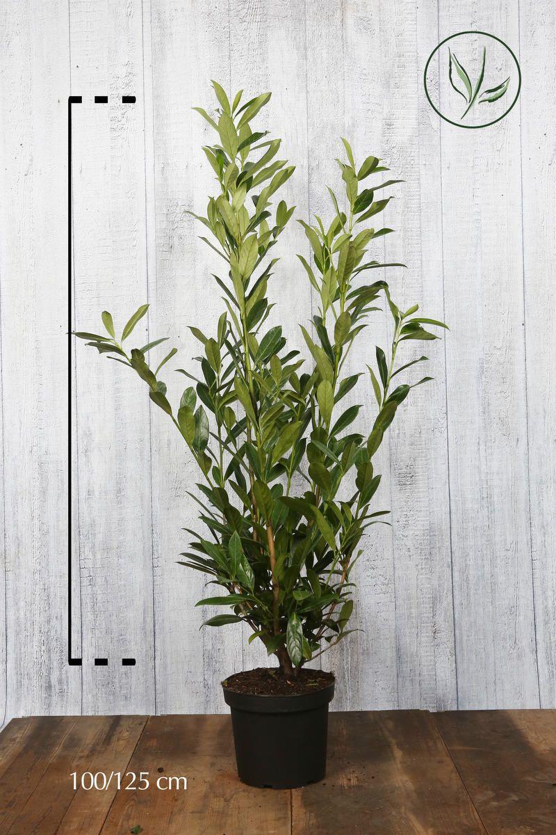 Laurier palme 'Caucasica' Conteneur 100-125 cm Qualité extra