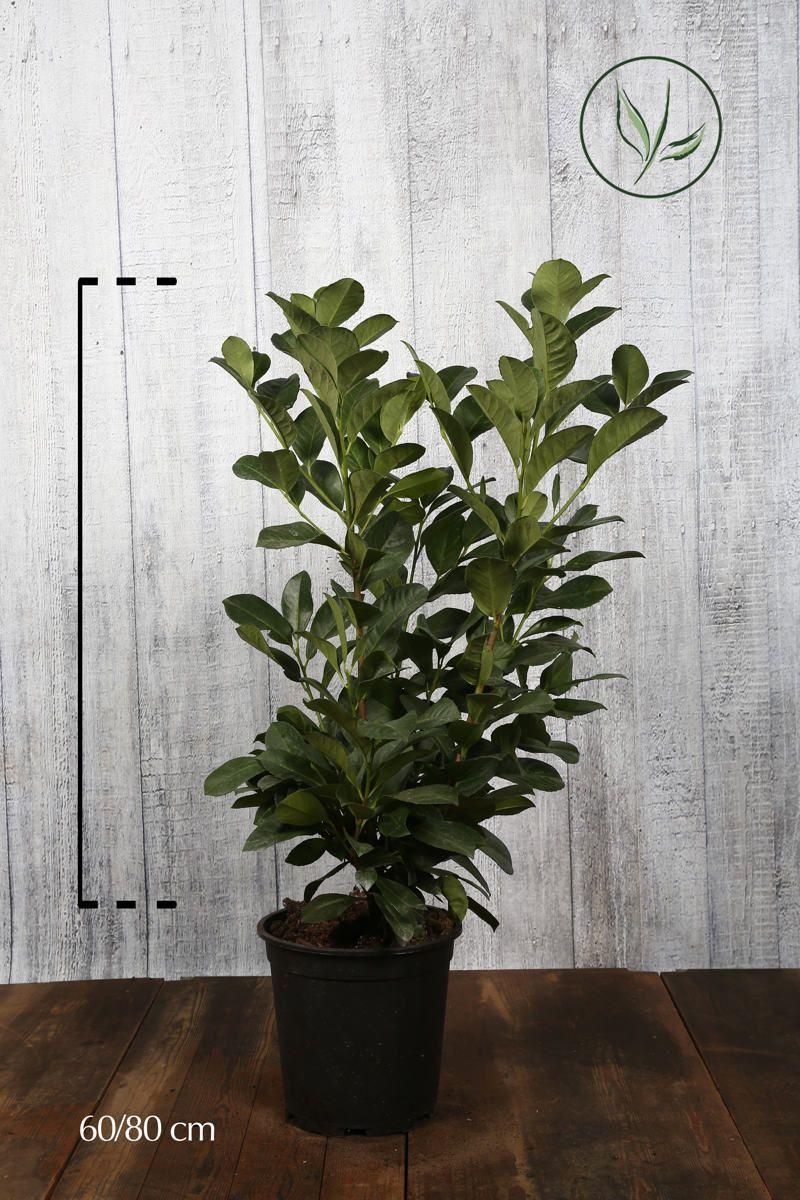 Laurier palme 'Etna'  Conteneur 60-80 cm Qualité extra