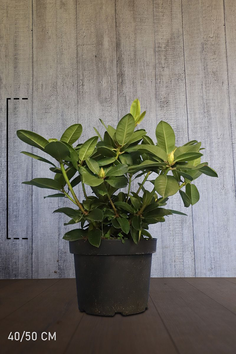 Rhododendron 'Germania'  Conteneur 40-50 cm Qualité extra