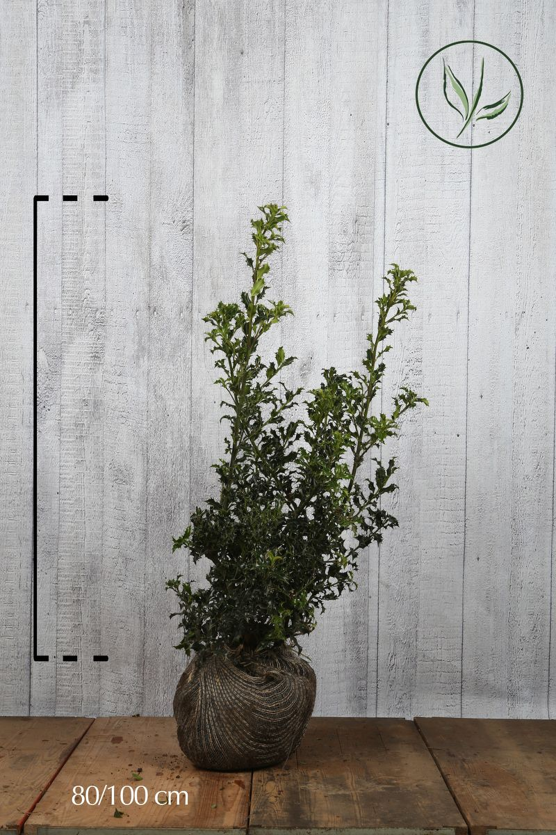 Houx commun En motte 80-100 cm