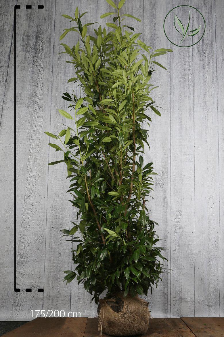Laurier palme 'Caucasica' En motte 175-200 cm Qualité extra