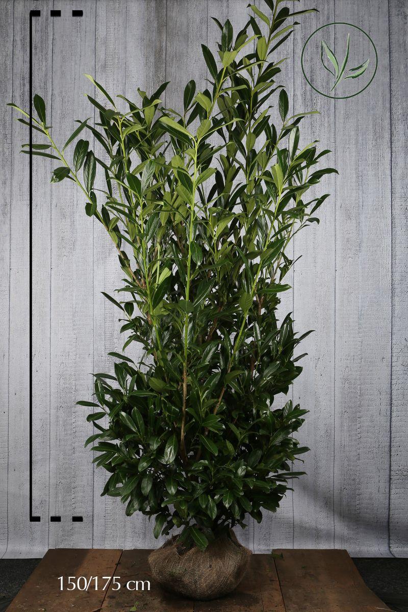 Laurier palme 'Herbergii'  En motte 150-175 cm Qualité extra