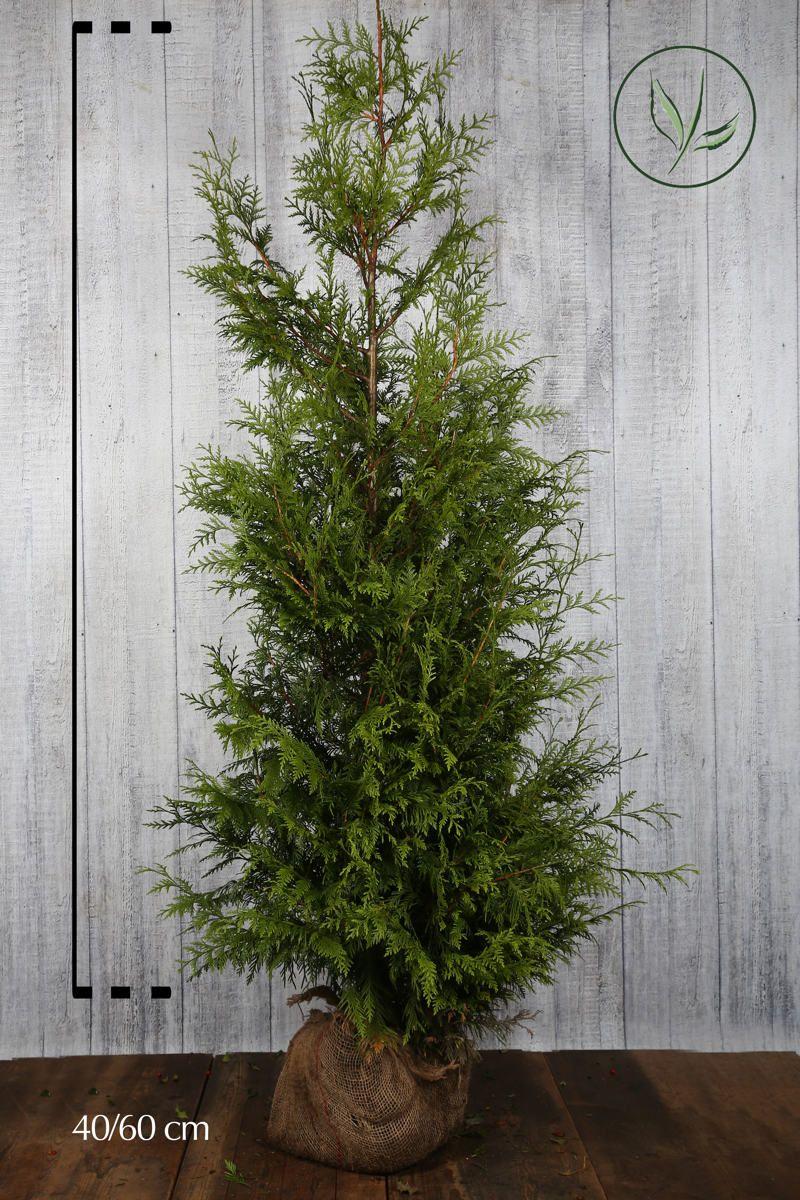 Thuya géant 'Excelsa' En motte 175-200 cm