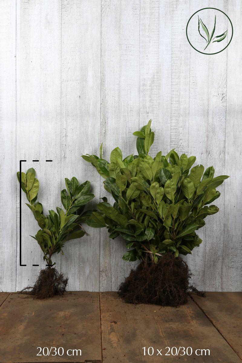 Laurier cerise 'Rotundifolia' Racines nues 20-30 cm