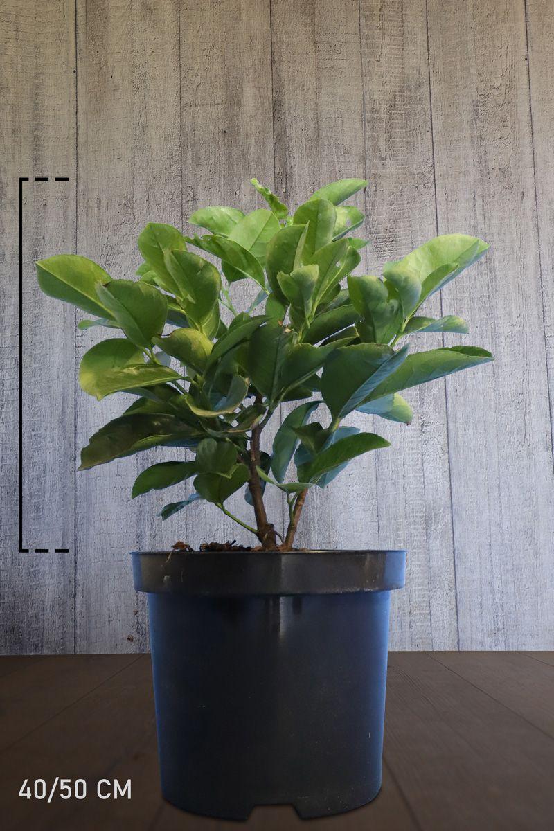 Laurier palme 'Etna'  Conteneur 40-50 cm