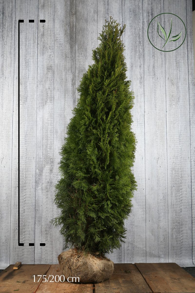 Thuya du Canada 'Smaragd'  En motte 175-200 cm Qualité extra