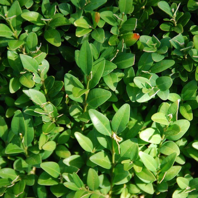 Buis - Arbustes