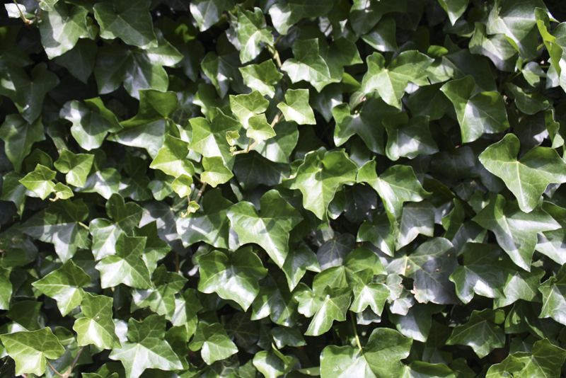 Lierre d'Irlande Haies prêtes à planter 180 cm Prêts à planter