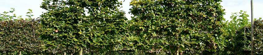 Des espaliers à croissance guidée venant directement de la pépinière