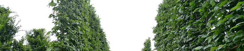 Espaliers en forme de rideau sur le net