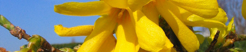 Forsythia hybride