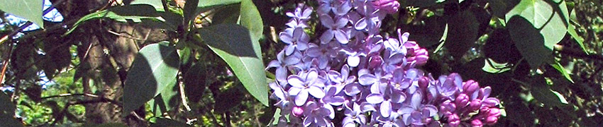 Lilas Commun description