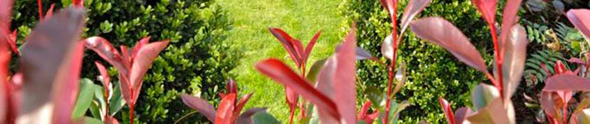 Plantes à feuillage persistant