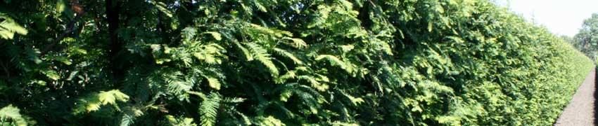 Nos Séquoias dans votre jardin