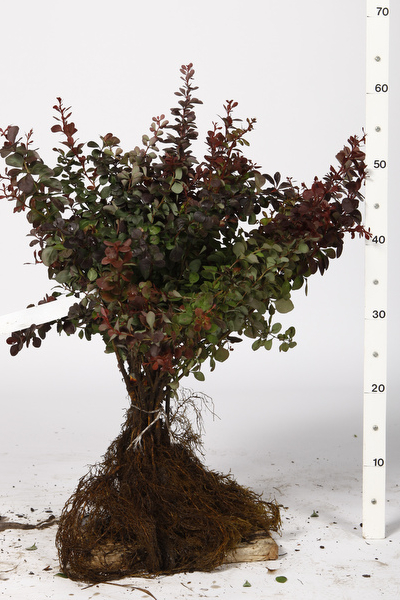 Plantes au racines nues